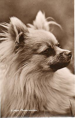 Pomeranian Dog, Photographic Postcard,Unposted See Scans