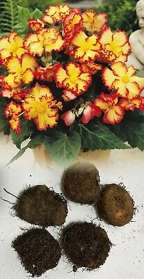 Bertinii Begonia Tuberous Orange Bulb/tuber Size 20/- 100's Of Flowers From One