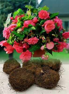 5 Pink Pendula Begonia Trailing Bulbs/corms Garden/hanging Basket Summer Flower