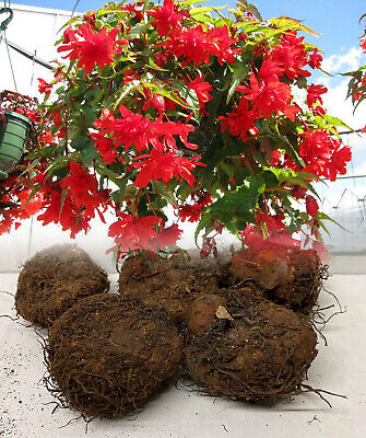 5 Red Pendula Begonia Trailing Bulbs/corms Garden/hanging Basket Summer Flower