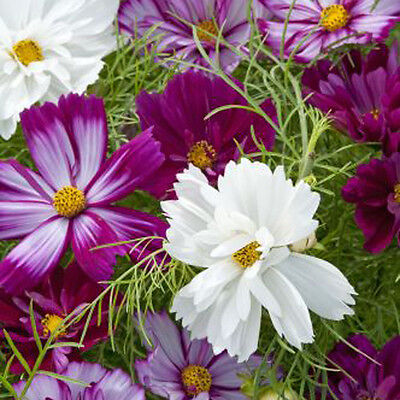 Kings Seeds - Cosmos, Bippinatus Fizzy Mixed - 100 Seeds
