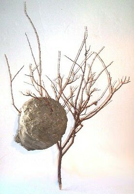"""- BALD FACE BEE HiVE PAPER WASP NEST w/ MATRiX BRANCH 18"""" x 28"""" LAKE GEORGE NY -"""