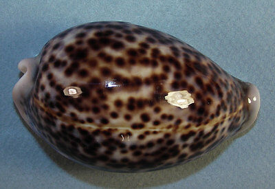 CYPRAEA PANTHERINA 73.89mm SUPER CHOICE SPECIMEN Djibouti 2009