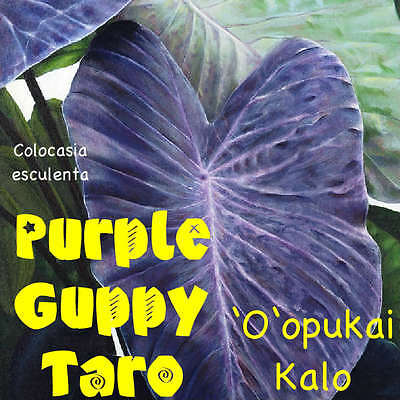 ~PURPLE GUPPY~ TARO Colocasia esculenta NATIVE HAWAIIAN ELEPHANT EAR Live Plant