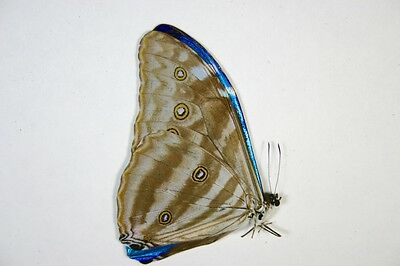 1 Morpho adonis male in A- condition