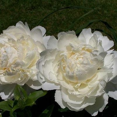 Paeony Poppy Double Cream Seeds Easily Grown Showstoppers Height 60-90 cm Tall