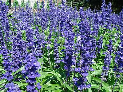 Salvia Strata Seeds Perennial Light Blue Flowers Heat & Drought Tolerant