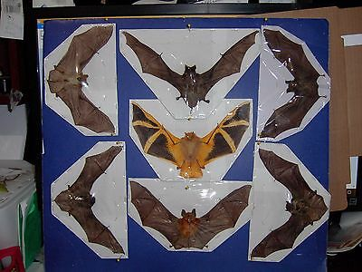 Hanging Bat Bats Taxidermy SOME Rare 7 Species FLYING Position GREAT VALUE