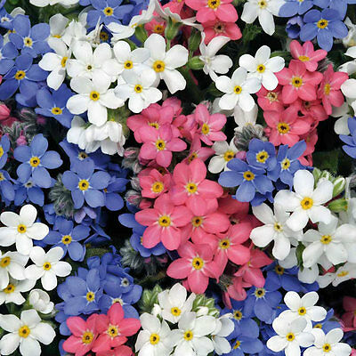 Forget-Me-Not Seeds Myosotis Victoria Mix 3 Colors Evergreen Perennial