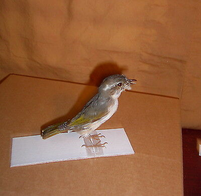 Taxidermy Bird Adult female Pteruthius flaviscapis  Body Display for Education