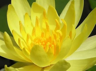 Nymphaea Eldorado YELLOW TROPICAL WATER LILY SEEDS