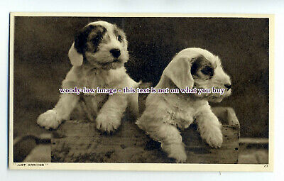 """an0826 - """"Just Arrived""""  Two Cute Wire Haired Puppies  - Postcard"""