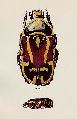 Vintage BEETLE Print Beautiful Beetle Art Gallery Wall Art Insect Print 2069