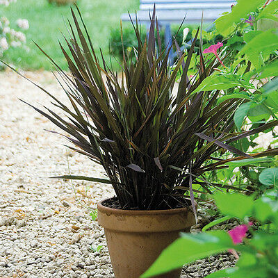 Kings Seeds - Oryza Sativa - (Ornamental Rice) Black Madras - 50 Seeds