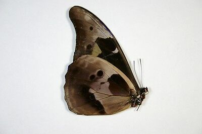 1 Morpho cacica male in A1 condition