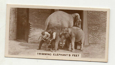 #16 Trimming Elephants Feet - Zoo Animal Card