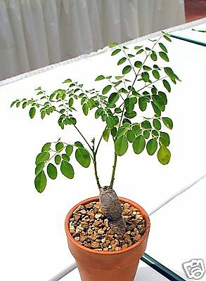 8 graines de NEVERDIER( Moringa Oleifera)CAUDEX G129 MIRACLE TREE SEEDS SEMILLAS