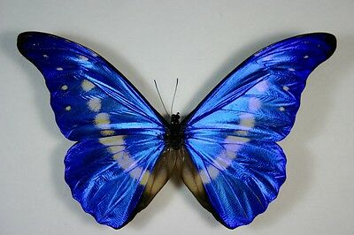 1 Morpho helena male in A1 condition