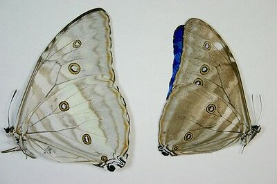 2 Morpho adonis male and female in A1 condition