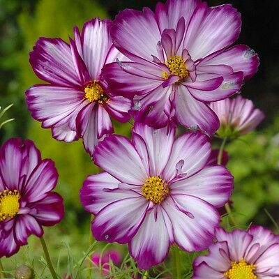 Cosmos - Fizzy Rose Picotee - 100 Seeds