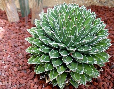 Queen Victoria Agave Seeds Arid Living Sculptured Small Shrub Good Accent Plant