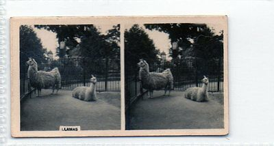 #47 Llamas - Nature Studies Stereoscopic Card