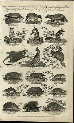 Canadian Porcupine Radiated Mole Field Mouse Racoon 1791 antique engraved print