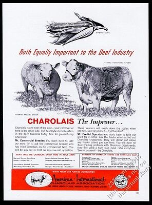 1962 Charolais cattle hybrid Angus & Hereford steer photo AICA vintage print ad