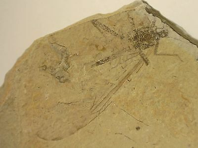 Fossil Insect, Liaoning (China) #03 - Yixian Fm, Cretaceous, Dinosaur Era