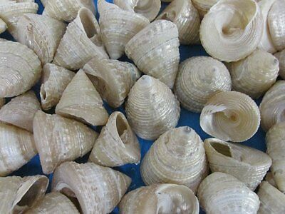 ocean sea shell lot of 20 beautiful Trochus Pearled for craft,  nautical ?<><