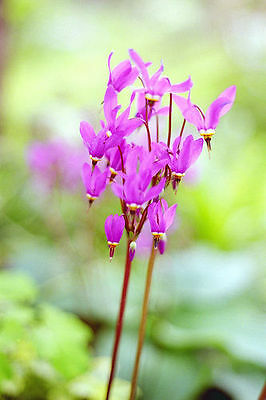 25 graines GIROSELLE DE VIRGINIE( Dodecatheon Meadia)X121 SHOOTING STAR SEEDS
