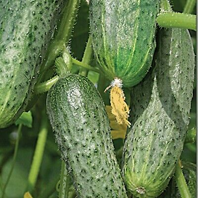Cucumber Seeds Andrus F1 Female Flowering High Yielding Hybrid Variety NON GMO