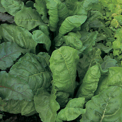 Spinach - Perpetual Plug Plants - 12 Plugs - July Del.