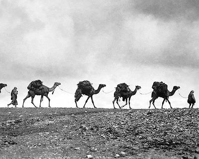 Train of Camels 1940s 8x12 Silver Halide Photo Print
