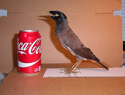Taxidermy Bird Indian mynah Bird  Rare Adult Male  Acridotheres tristis Display