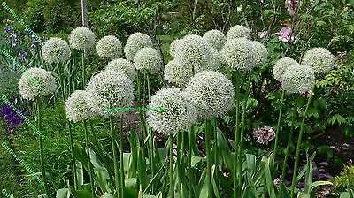 Potted 1 Litre Allium Mount Everest Bulbs White Fragrant Summer Perennial