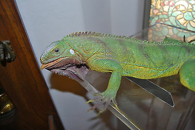 "vintage Large 40"" Inch heavy Rubber Lizard Common GREEN IGUANA Realistic USA"