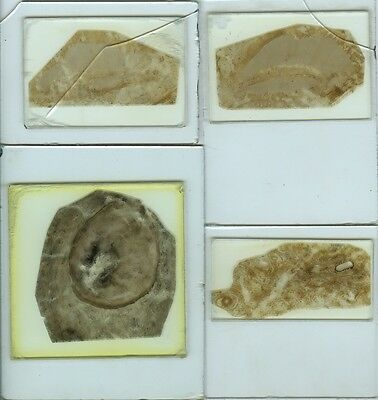 4 Large Fossil Thin Section Microscope Slides