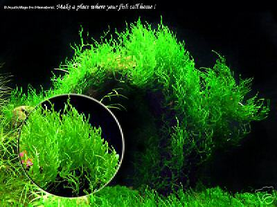 Aquarium plant - Flame moss, turn on the HEAT !
