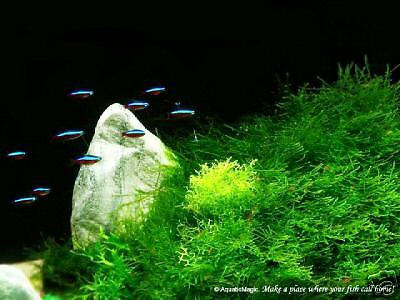 Java Moss x 1 Bag - Live Aquatic Moss FREE SHIPPING! Z