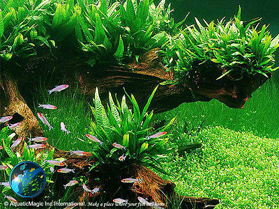 Philipine Fern-for Live crystal red shrimp fish tank AB