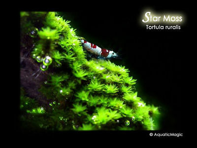 Star Moss - for live fish fern aquarium plant co2 AM