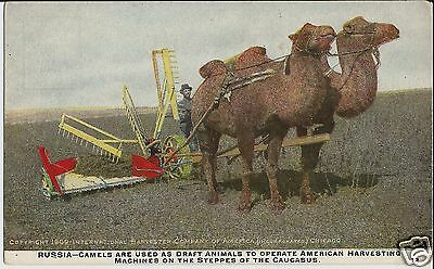 Camels and International Harvester combine in Russia on old mint advert postcard