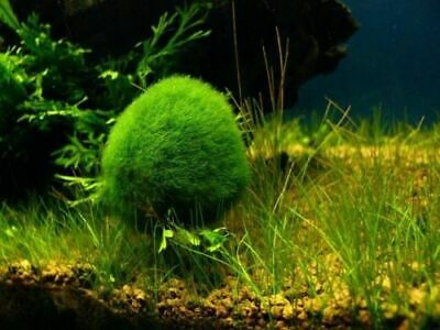 MossBall- Plant for Live Freshwater/Saltwater aquarium fish(not for plant eater)