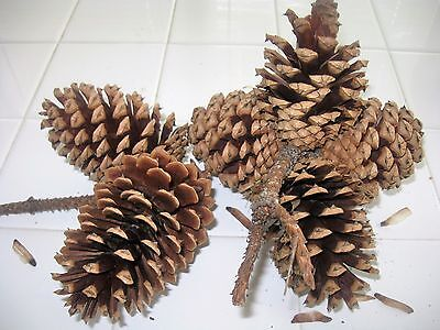 Texas Pine Cones On 2 Branches, Very Solid, 6 Pine Cones Total