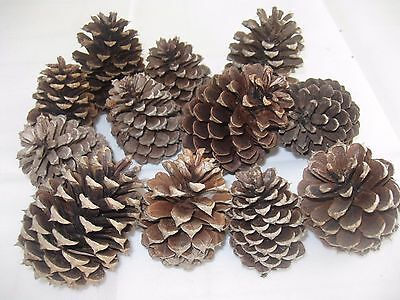 """Texas Pine Cones, Mini (2"""" To 2-3/4"""" Tall), Shortleaf, Set Of 12"""