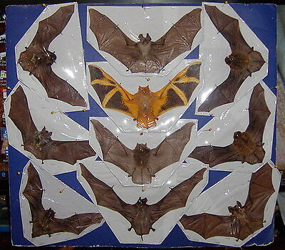Flying Bat Bats Taxidermy SOME Rare 10 Species FLYING Position BEST VALUE