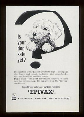1956 Sealyham Terrier art Epivax vaccine vintage UK print ad