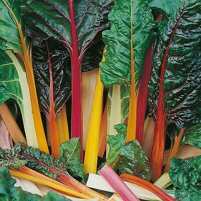 Beet Leaf - Rainbow Chard - 250 Seeds