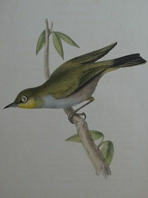 Sylvia annulosa White-eyed Warbler - William Swainson - kol. Lithographie - 1900